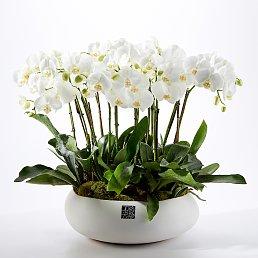 Orchid (호접난)